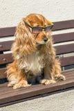 Épagneul de Coker avec des lunettes de soleil Photo stock
