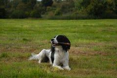 Épagneul de sauteur anglais Photographie stock libre de droits