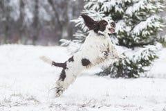 Épagneul de springer anglais Photo libre de droits