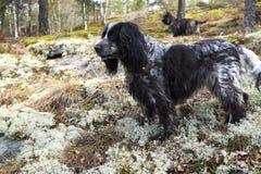 Épagneul et cairn Terrier dans la forêt sur la chasse Photographie stock libre de droits