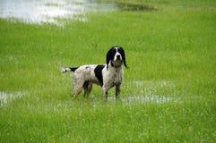 Épagneul humide de sauteur Images stock
