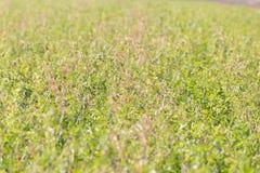 Épanoui et supporté le vieux trèfle vert dans la terre d'agriculture photo libre de droits