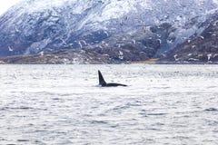 Épaulard d'orque et mouettes chassant des poissons dans l'Arctique Photographie stock libre de droits
