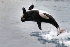 Épaulard sautant de l'eau (orque d'Orcinus) photographie stock libre de droits