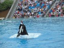 Épaulard sautant de l'eau (orque d'Orcinus) Photographie stock