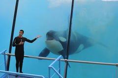 Épaulard sautant de l'eau (orque d'Orcinus) images libres de droits
