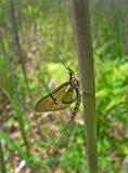 Éphémère (Ephemeroptera) Photographie stock libre de droits
