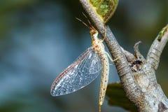 Éphémères, Shadflies, Fishflies sur l'arbre/appât image libre de droits