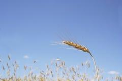 Épi de blé photos stock