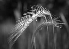 Épi de blé Photographie stock