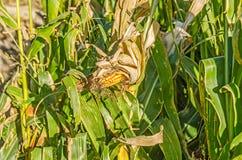 Épi de blé Photo stock