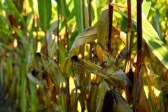 Épi de maïs d'or et jaune Images libres de droits