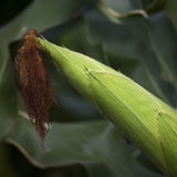 Épi de maïs dans le terrain Image stock
