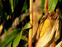 Épi de maïs dans son domaine avant des récoltes images stock