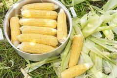 Épi de maïs frais sur la pelouse, empilée dans une casserole pour la cuisson Photo stock