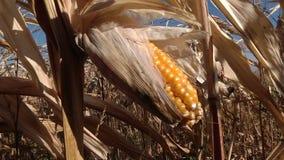 Épi de maïs mûr dans le domaine banque de vidéos