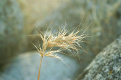 Épi sec d'automne Photos stock