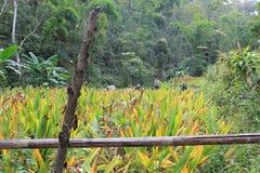 Épice bio cultivé dans la jungle - moissonnez le processus photos libres de droits