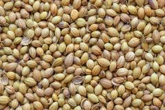 Épice sèche entière de Dhaniya ou de coriandre, plan rapproché images stock
