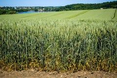 Épillets énormes de blé sur de hautes tiges sur le champ dans la perspective du ciel et d'un petit village photo stock