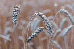 Épillets d'or de champ de blé Images stock