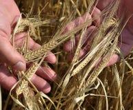 Épillets d'orge dans les mains du farmer_4 Photographie stock