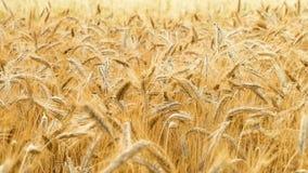 Épillets de balancement de blé ou de seigle dans le vent Temps de moisson banque de vidéos