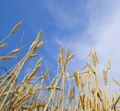 Épillets de blé contre le ciel bleu Blé mûr Image libre de droits