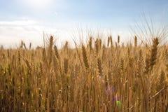 Épillets de blé d'or sur le champ Beau paysage de nature rural sur le coucher du soleil image libre de droits