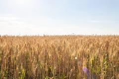 Épillets de blé d'or sur le champ Beau paysage rural sur le coucher du soleil image stock