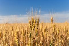 Épillets de blé d'or sur le champ Paysage rural sur le coucher du soleil photos stock