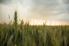 Épillets de blé dans un domaine avec le grain, sur un fond de gris, bleu, nuages d'orage, été Image stock
