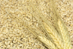 3 épillets de blé se trouvent sur le grain renversé, céréales, la nourriture, ha Photos libres de droits