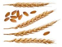 Épillets et graines de blé d'isolement sur le blanc Photos stock