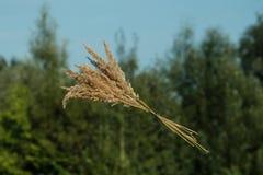 Épillets et le concept de la récolte - épillets contre le ciel Jour de terre moisson photo libre de droits
