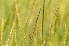 Épillets verts de fond d'herbe sauvage de nature Photographie stock libre de droits