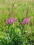 Épilobe de floraison Images stock