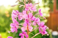 Épilobe de floraison d'été photographie stock libre de droits
