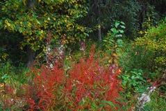 Épilobe et Wildflowers de l'Alaska image stock