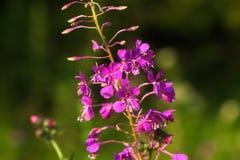 Épilobe Fleur sauvage Photo stock