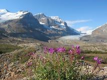 Épilobe sur la moraine glaciaire au glacier d'Athabasca, Jasper National Park, Alberta Photographie stock