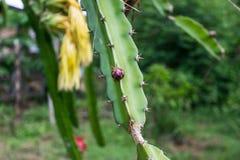 Épine ou piquant d'arbre de fruit du dragon photographie stock