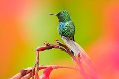 Épine-queue intéressante de vert de colibri, conversii de Discosura avec les fleurs roses et rouges brouillées à l'arrière-plan,  image stock