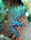 épines d'étoiles de mer de corneille Images libres de droits