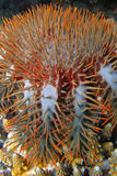 épines d'étoiles de mer de tête Image stock