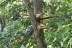 Épines d'acacia de corne de brume de plan rapproché dans l'habitat naturel photos libres de droits