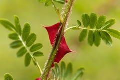 Épines d'omeiensis de Rosa Photos stock
