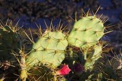 Épines de cactus Images libres de droits