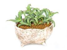 Épines de cactus dans le pot. Images libres de droits