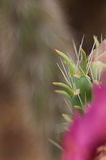 Épines pointues sur le cactus avec la fleur rose Photos stock